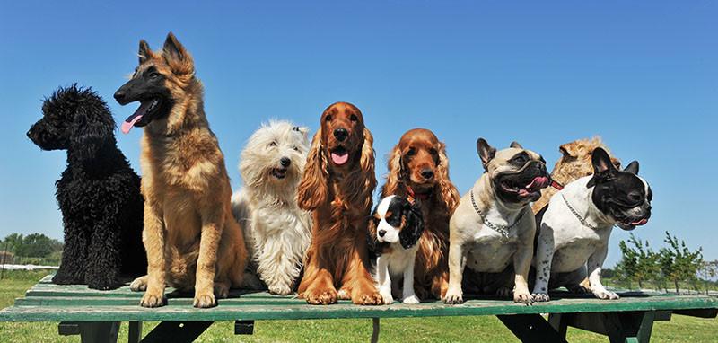 Köpek Cinsleri